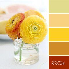 Желтые ранункулюсы | DiscoverColor.ru