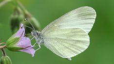 Suomen Perhoset Peltovirnaperhonen » Suomen Perhoset Finland, Moth, Creepy, Butterflies, Scenery, Nature, Plants, Animals, Beautiful