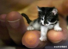 A smallest kitten in the world. its body only 7 cm long, 500grams.