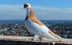 2560x1600 px Pictures for Desktop: pigeon backround by Corliss Fairy for : pocketfullofgrace.com
