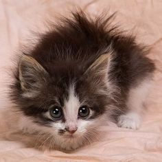 ALVIN is an adoptable Domestic Medium Hair - Gray And White Cat in Anna, IL. Well, just feast your eyes on this baby kitten! Isn't he just about the cutest little guy you've ever seen! Little Alvin ...