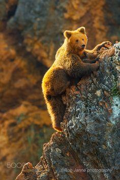brown bear cub learning to climb