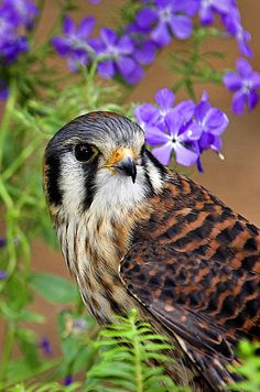 American Kestrel - San Diego backyard visitor often nesting in palm tree