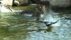 A wild duck decided to have an extreme game of chicken at Symbio Wildlife Park, Sydney, on 18 January. The duck decided to play with Jalur, a 126kg male Sumatran tiger, whom seemed pretty determined to catch the bird. The game lasted 10 minutes before Jalur conceded defeat, leaving the duck to bathe in victory in the pool.