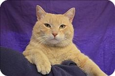 Visalia, CA - Domestic Shorthair. Meet Gunner, a cat for adoption. http://www.adoptapet.com/pet/12577363-visalia-california-cat