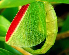 Eurycnema osiris (detail) [Darwin stick insect]