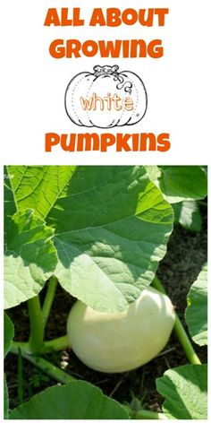 Tips on growing your own white pumpkins