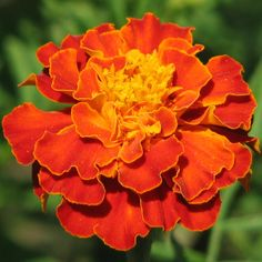 Marigold. Flower for October and the  traditional flower for Dia de los Muertos