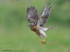 Juvenile Cooper's Hawk by Cooper's Hawk, Eagles, Mother Nature, Owl, Bird, Pets, Animals, Amazing, Fotografia