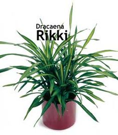 Dracaena Rikki is a relatively new Dracaena for interior use. Rikki features deep rich green leaves with highlighted yellow bands in the center running the length of the leaf. Rikki is open and aesthetically pleasing with a color pattern that provides an interesting alternative choice to other Dracaena varieties such as Dracaena Janet Craig, Dracaena Warneckii, and Dracaena Gold Star.