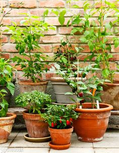 Chilin hoito – yleisin virhe on kastella liikaa Dream Garden, Home And Garden, My Secret Garden, Planter Pots, Herbs, Tips, Flowers, Plants, Zero Waste