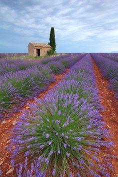 le plateau de Valensole dans les Alpes de haute-Provence