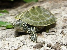 Cagle's Map Turtles have been seen in the Guadalupe River, as well as its tributaries.