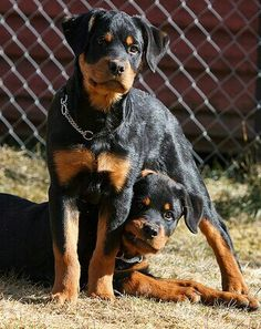 Rottweiler pups being pups.