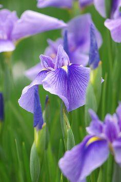 The iris. The flower of my alma mater...UW- Stevens Point.