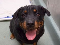GONE - 11/15/14 Brooklyn Center   My name is PRECIOUS. My Animal ID # is A1020434. I am a female black and tan rottweiler. The shelter thinks I am about 8 YEARS old.  I came in the shelter as a OWNER SUR on 11/12/2014 from NY 11221, owner surrender reason stated was PERS PROB. Main Thread: https://www.facebook.com/photo.php?fbid=905582316121315%2F