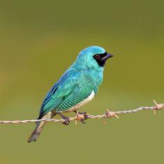saí-andorinha-macho (Tersina viridis) Swallow Tanager-male by Claudio Lopes, via 500px