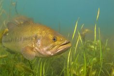 Underwater pictures of freshwater game fish in their natural habitat. Walleye, largemouth bass, smallmouth bass, muskie, northern pike, salmon, trout, catfish, bluegill, crappie, panfish, yellow perch, and many other are included in our professional stock photography gallery.