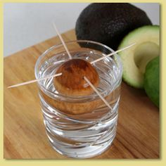 Grow your own avocado tree