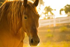 Waterless Shampoos are horse shampoo sprays that don't require rinsing the horse. Horse Shampoo, Waterless Shampoo, Chestnut Mare, Horse Riding Tips, Horse Care Tips, Free Horses, Horse Face, Brown Horse, Horse Pictures