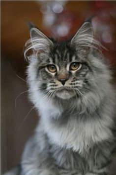 Maine Coon cat http://www.mainecoonguide.com/maine-coon-temperament/
