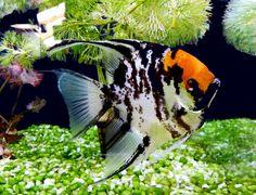 A Koi angelfish Tropical Fish Aquarium, Aquarium Fish Tank, Fish Aquariums, Oscar Fish, Aquarium Kit, Discus Fish, Pet Fish, Marine Fish, Angel Fish