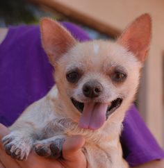Matisse, a 12-year-old sweetheart, shines with a bright spirit.  Despite years of neglect, he adores people and enjoys a positive outlook.  Matisse is a blond Chihuahua mix, neutered boy, good with other dogs, debuting for adoption today at Nevada SPCA (www.nevadaspca.org).  We rescued him from another shelter.  Matisse has lost almost all of his teeth, so be sure his meals and treats are soft enough for him to safely chew and swallow.