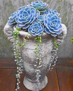 Beautiful Blue Succulent Arrangement