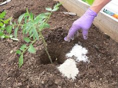 Epsom salt is a longtime, affordable way to help start your garden or improve your garden once it's already going. You can use Epsom salt in the garden as a fertilizer, a pest deterrent, and also as a seed starter, to name a few. Epsom salt can also enhance the quality and condition of your lawn and shrubs!