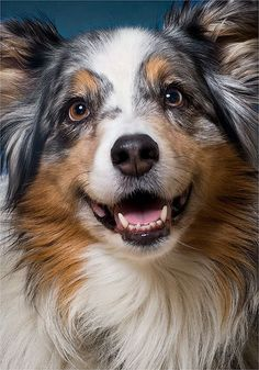 Emma the Australian Shepherd