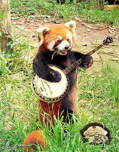 Panda rojo tocando el banjo.