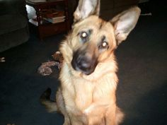 #LOSTDOG 6-14-13 STILL MISSING 12-26-13 #EVANSVILLE #IN 2 YEAR OLD #GSD BLACK AND TAN #Germanshepherd Red collar 812-867-6583 https://www.facebook.com/photo.php?fbid=172551642955821&set=o.174905092537413&type=1