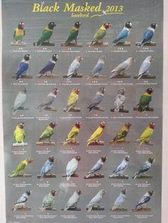 Black-masked Lovebirds List