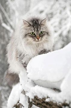 Maine Coon or Norwegian Forest cat Pretty Cats, Beautiful Cats, Animals Beautiful, Cute Animals, Pretty Kitty, Animals Images, Nature Animals, Funny Animals, Gatos Maine Coon