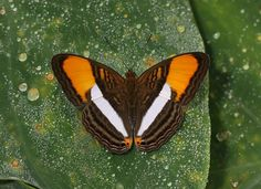 Smooth-banded Sister(Adelpha cytherea), is a species of butterfly of the Nymphalidae family. It is found in the Central and South America.