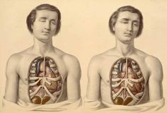 This is fascinating--the anatomist Francis Sibson (1814-1876) in his Medical Anatomy  (London, 1869) provided descriptive/illustrative examples of what the body's internal organs look like in cadavers and in living patients.
