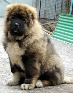 All To Know About Caucasian Mountain Shepherd or Caucasian Shepherd Dog Animals And Pets, Baby Animals, Cute Animals, Caucasian Shepherd Puppy, Coyotes, Big Dog Breeds, Dog Rules, Shepherd Puppies, Mountain Dogs