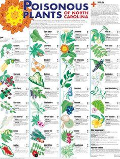 Deadly Plants, Poisonous Plants, Edible Plants, Medicinal Plants, Poison Ivy Plants, Poison Garden, Ti Plant, Trees To Plant, Survival Life Hacks