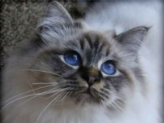 Peloux Neville. Seal tabby point Birman. He is beautiful inside and out.