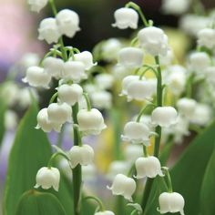 A beloved heirloom with intensely fragrant flowers in late #spring. #LilyoftheValley's waxy white bells dangle from upright stalks that are great for cutting. The foliage stays lush and glossy all season long.
