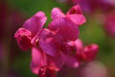 Wild Sweet Peas Wisconsin Wildflowers