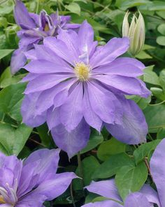 Clematis 'Countess of Lovelace' • Plants & Flowers • 99Roots.com