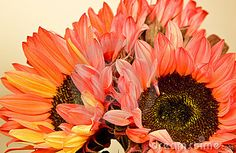 Red and Orange Sunflowers by Chris Curtis, via Dreamstime