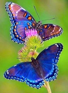 Butterfly Drawing, Butterfly Painting, Butterfly Crafts, Butterfly Wallpaper, Butterfly Flowers, Blue Butterfly, Butterfly Design, Most Beautiful Butterfly, Beautiful Bugs