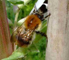 Red Mason Bee