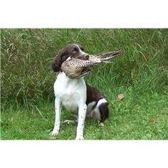 Started - 15 month old Field Bred English Springer Spaniel Hunting Dog - Ad #75672 - Available 9/13/14 -- Call (218)-328-5342 - $2,000