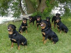 All of these beauties belong to one person in a Rottweiler group I am in on FB. I am so crazy envious. Pic 1
