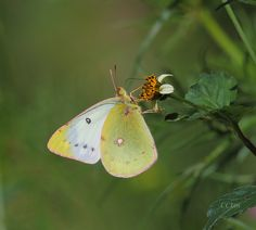 A ventral view of a female Eastern Pale Clouded Yellow(Colias erate) photographed by Jeff Lin in Taiwan in October 2015