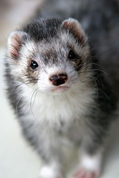 ferret; love the coloring