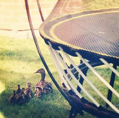 This duck family loves the shade provided by the Springfree Trampoline!